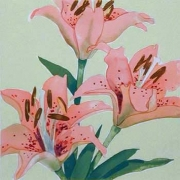 Tiger Lily Study